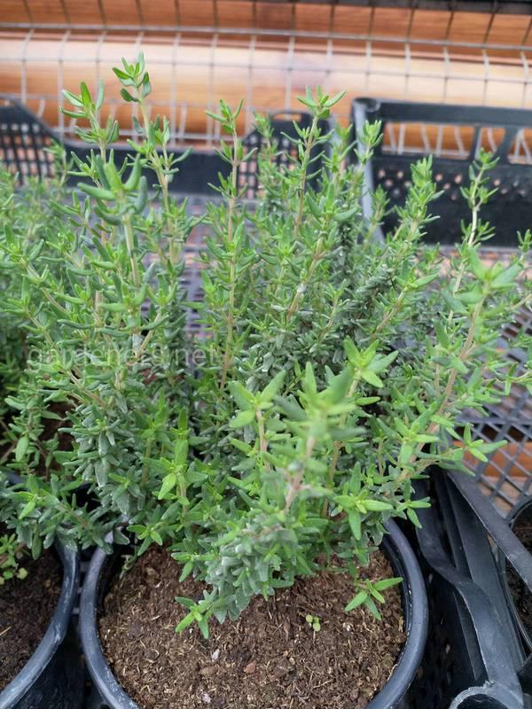 Який ґрунт більше підходить для вирощування чебрецю?