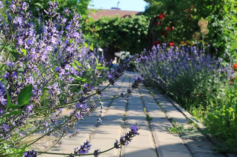 Как выращивать лаванду на своем участке