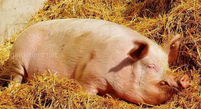 Лайфхаки в домашнем свиноводстве
