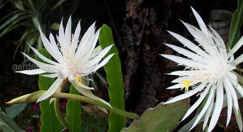 Епіфіллюм: популярні види незвичайного кактуса з висячими стеблами