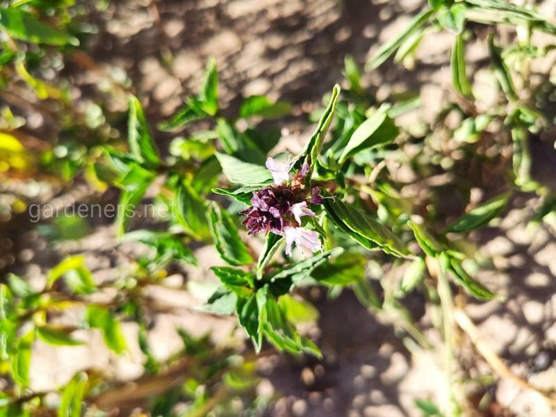 Базилік (лат. Ocimum basilicum ) - король рослин