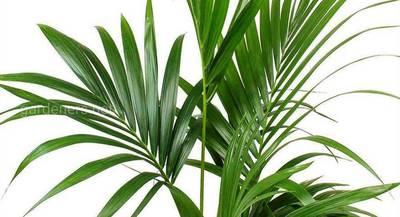 Выращивание пальмы ховеи: пересадка, уход, размножение, заболевания, значение в доме