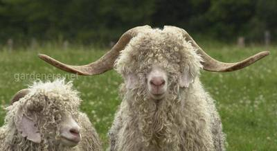 Ангорских козы