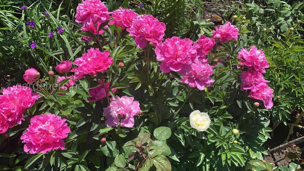Палитра цветников садового участка