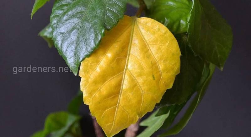 желтые листья на комнатных цветах