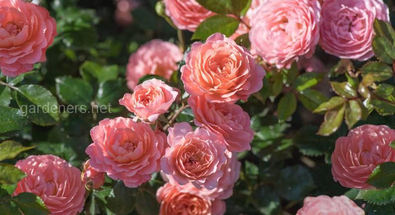 Все про троянди Дрифт (Drift): види, опис, догляд