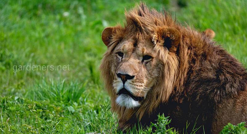 11 интересных фактов о львах