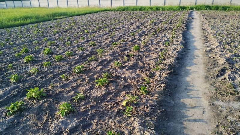 Як правильно взяти пробу ґрунту для агрохімічного аналізу?