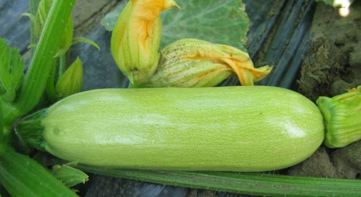 семена кабачков можно употреблять в пищу