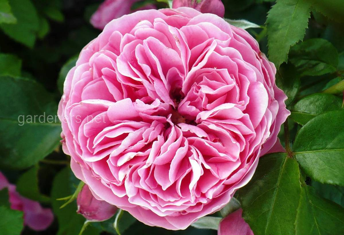Сорта роз Leonardo da Vinci