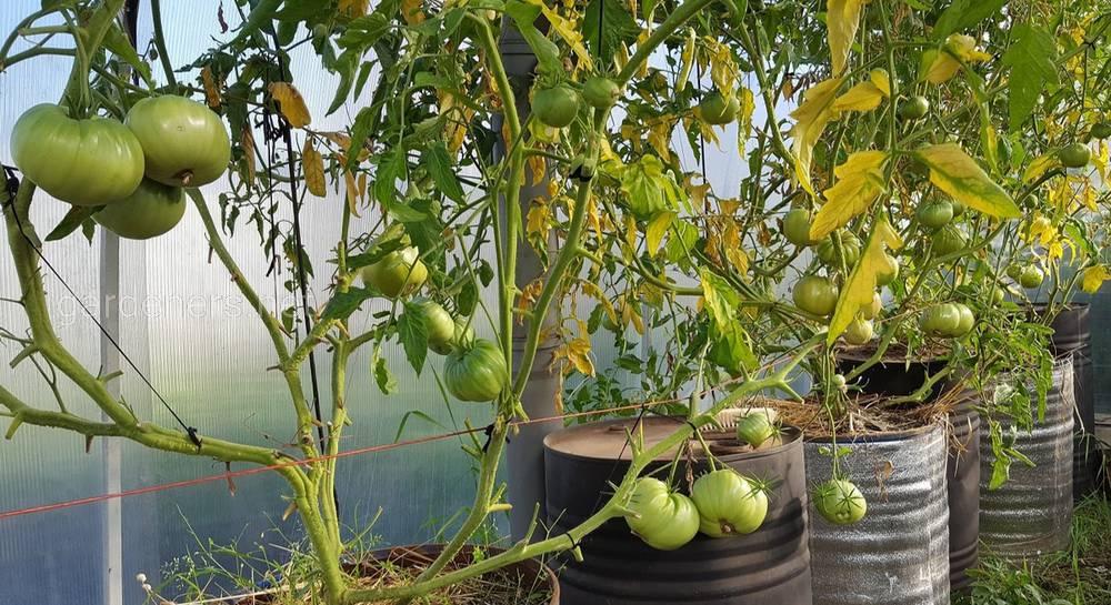помидоры в бочках картинки приготовить