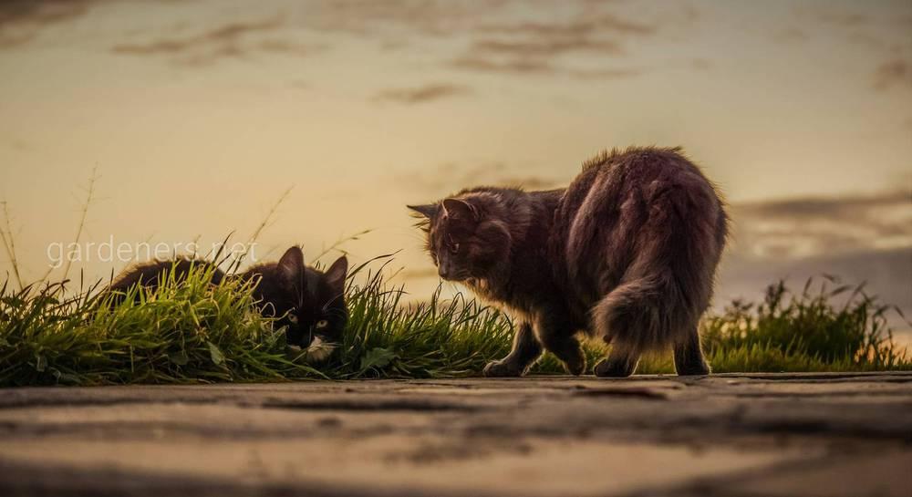 Как подружить кошек между собой