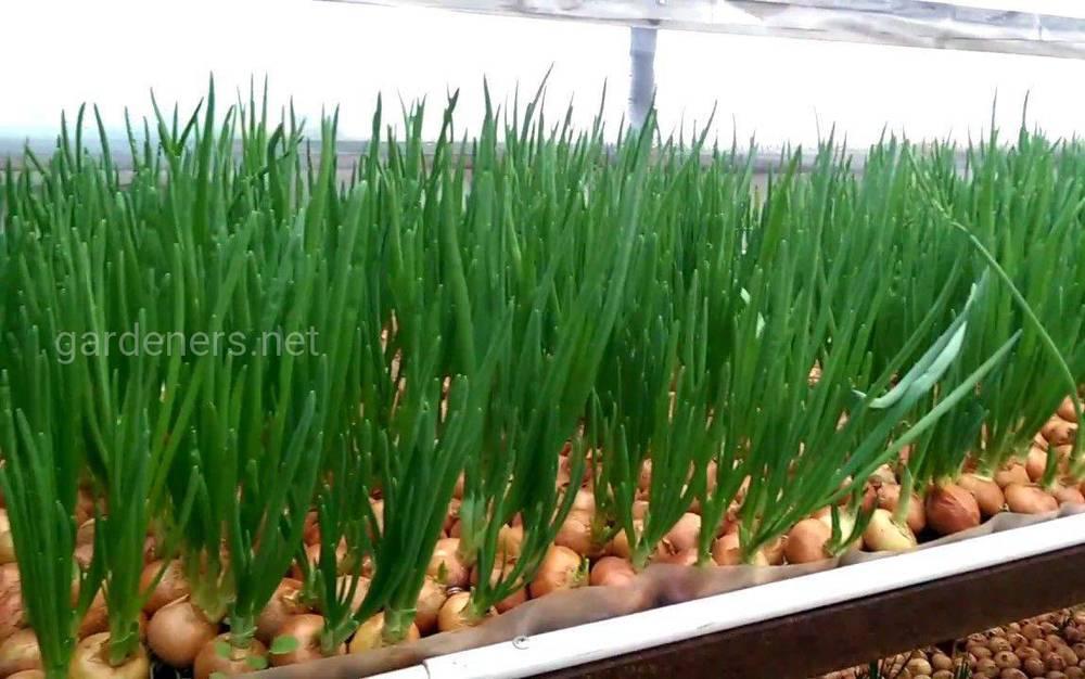Особенности бизнеса по выращиванию зеленого лука