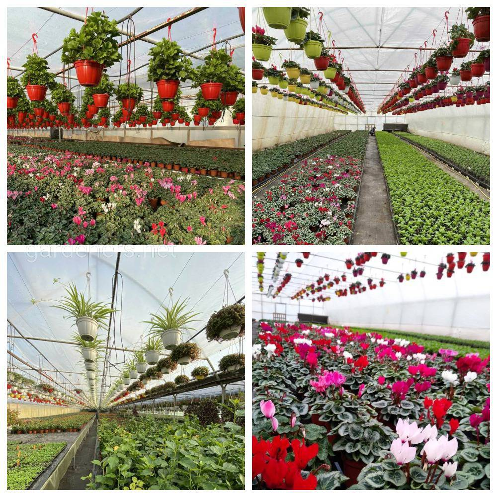 використання Суспензії хлорели в технології вирощування квітів