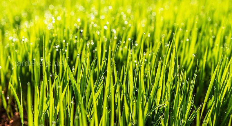 газонная трава.jpg