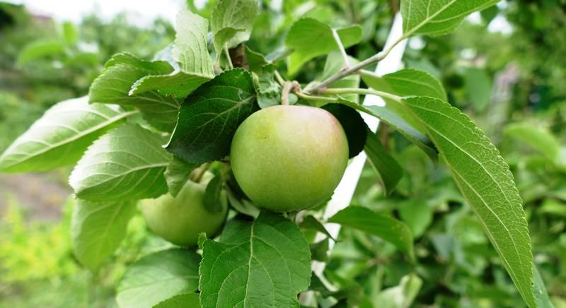 посадка яблони.JPG