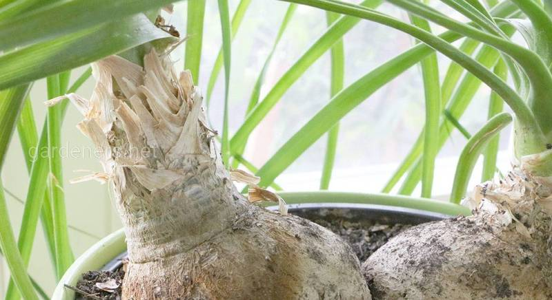 Виды и сорта нолины (бокарнея)