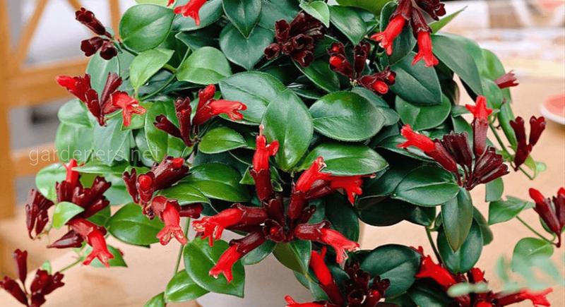 Есхінантус: догляд і розмноження екзотичної квітки