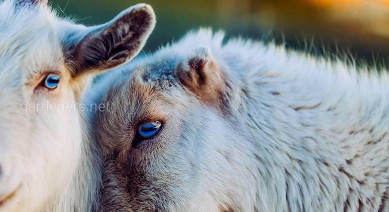 Мастит у коз