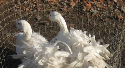 Курчавые гуси