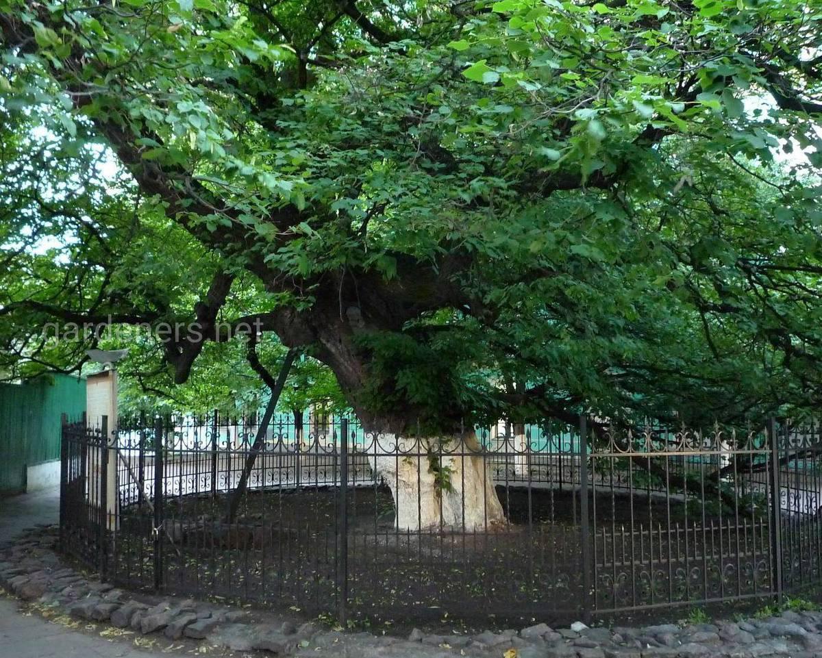 Липа Петра Могилы