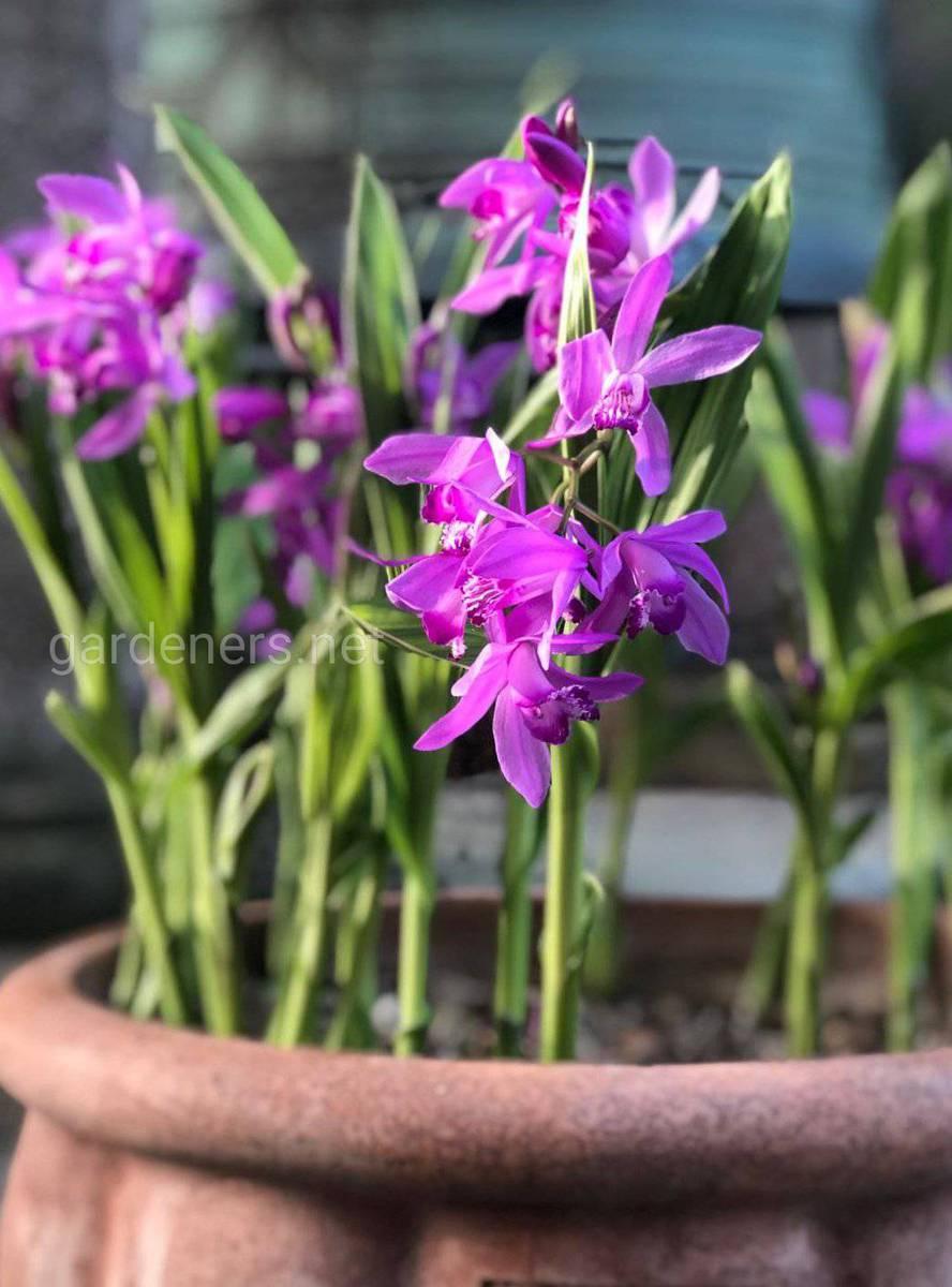 блетилла - садовая орхидея