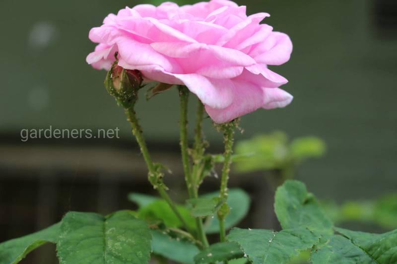 Які натуральні інсектициди допоможуть в боротьбі з попелицею на трояндах?