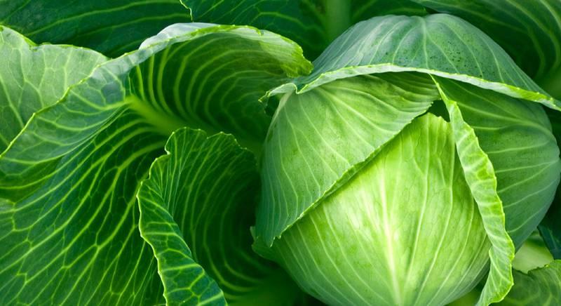 Какие условия необходимы для успешного выращивания тепличной капусты?