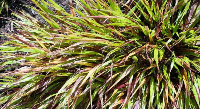 Хаконехлоя или хаконэ: топ сортов необычной декоративной травы
