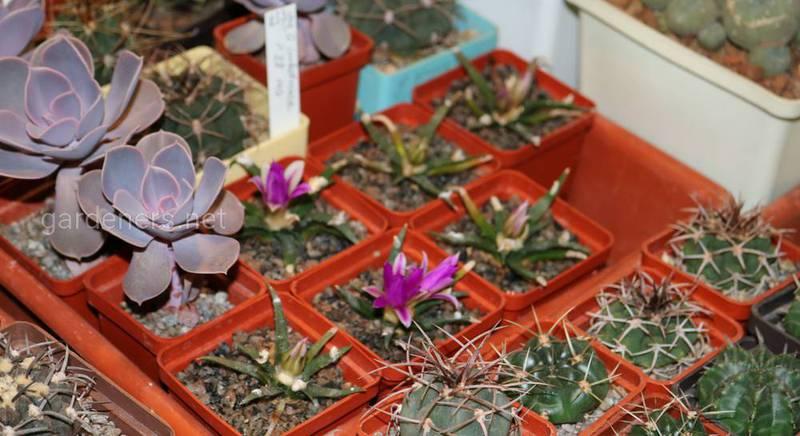 Можно ли пересаживать кактусы зимой.JPG