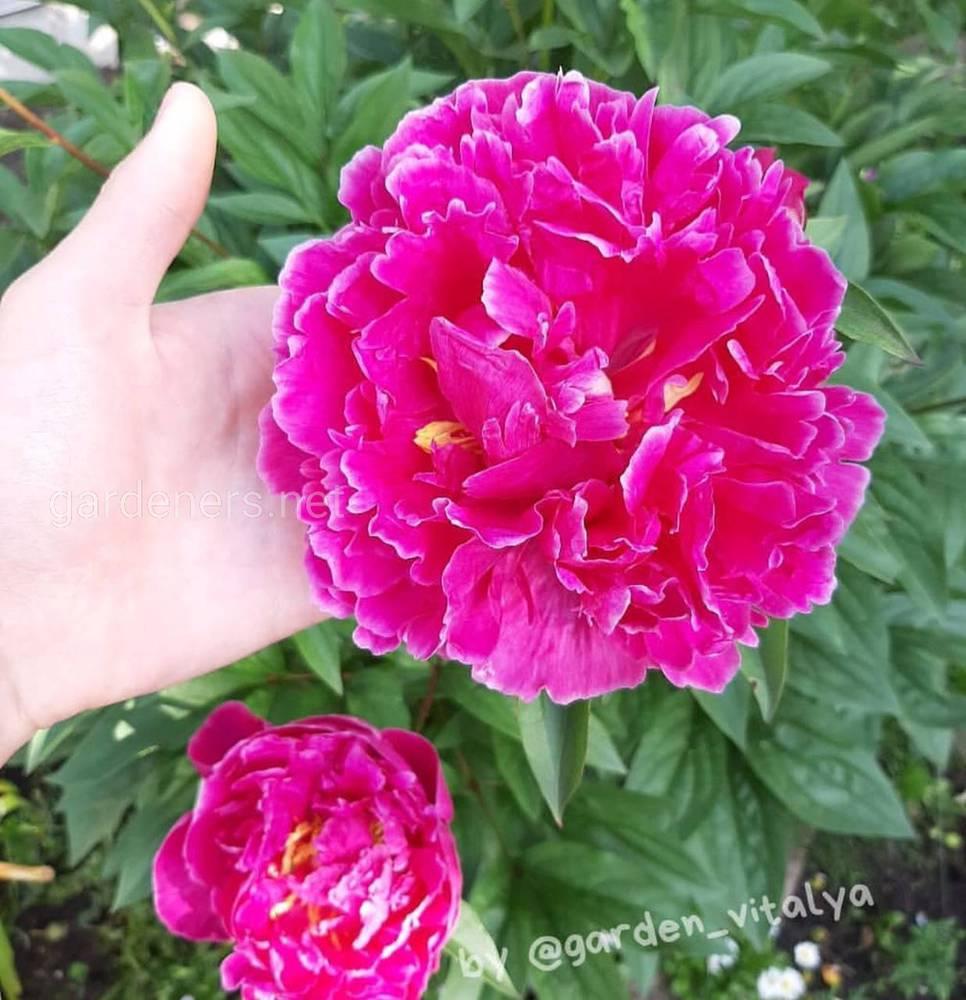 Пурпурное облако в саду