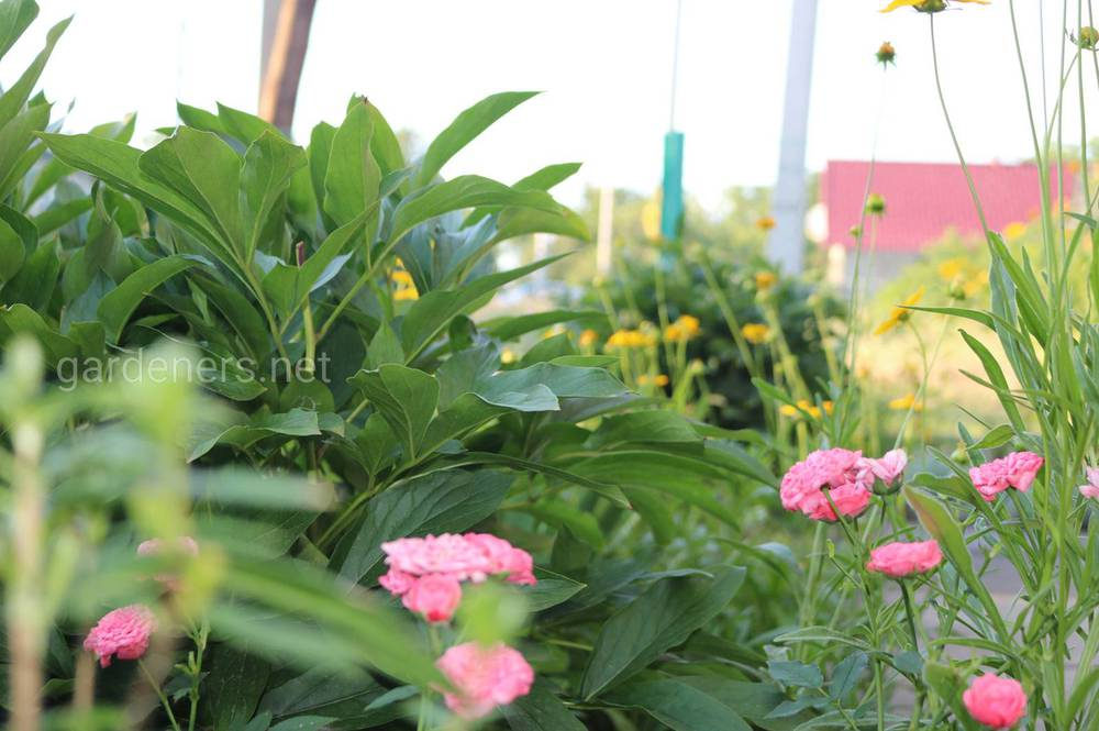 Липнева підгодівля декоративних рослин