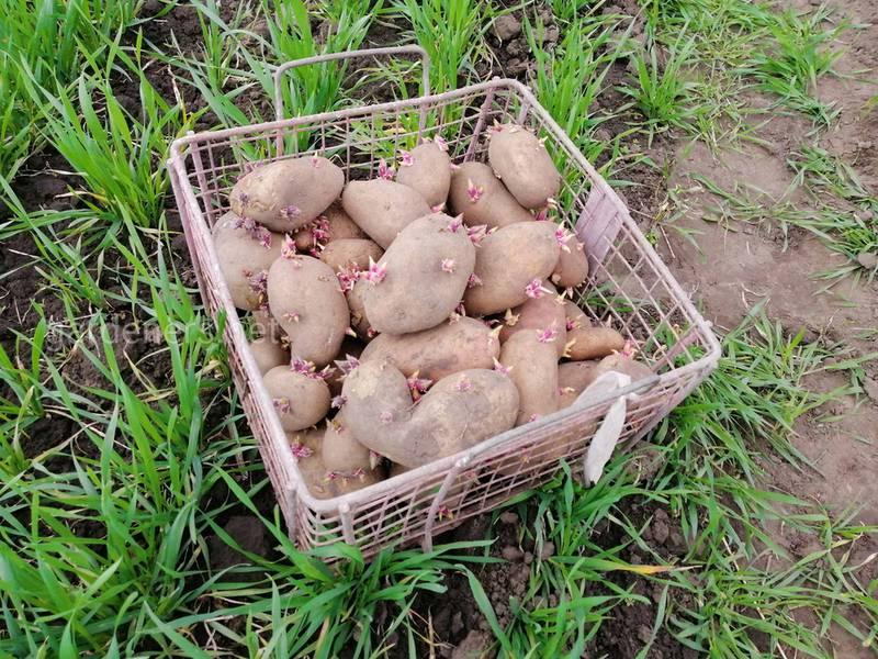 Следует ли разрезать клубень картофеля для посадки?