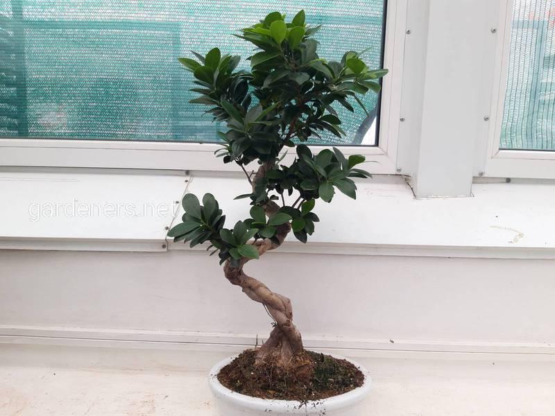 Что символизирует дерево бонсай?