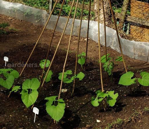 Які найкращі умови вирощування Квасолі?