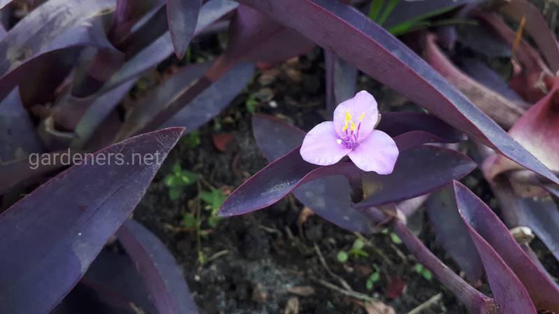Сеткреазия пурпурная - краснолист. Какие виды бывают?