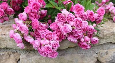 Розы без шипов