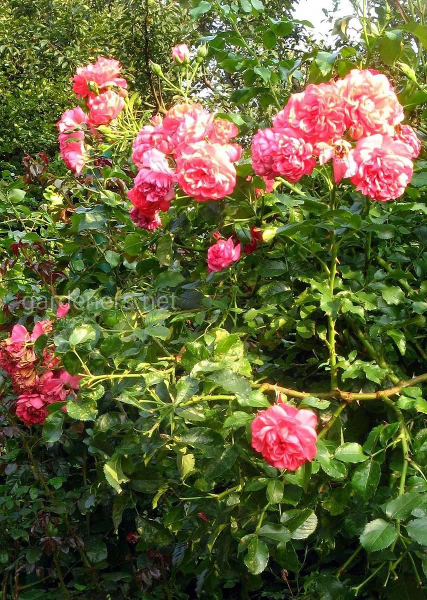 Сорта роз Rosarium Uetersen