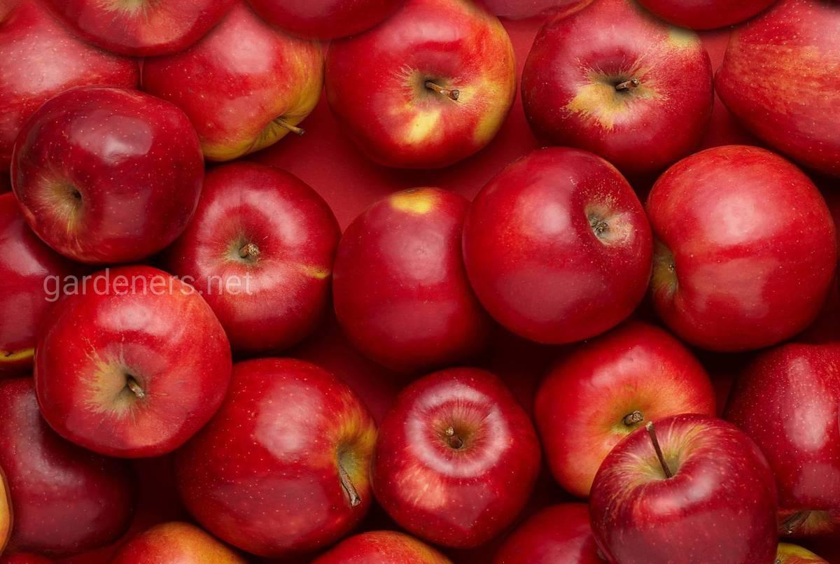 сорт яблок Джонатан