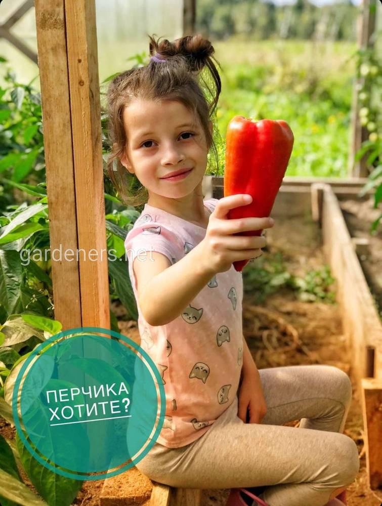В теплице выращиваем  болгарский перец