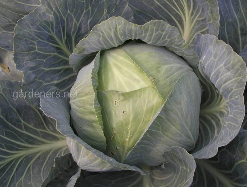 Какие эко-растворы помогут от вредителей капусты и листовых овощей?