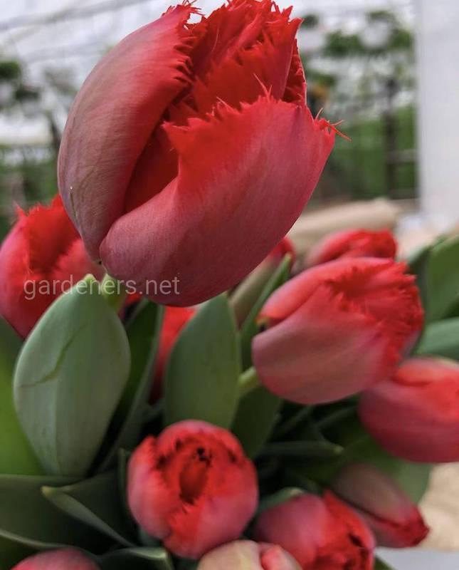 Как сохранить букет срезанных тюльпанов как можно дольше?