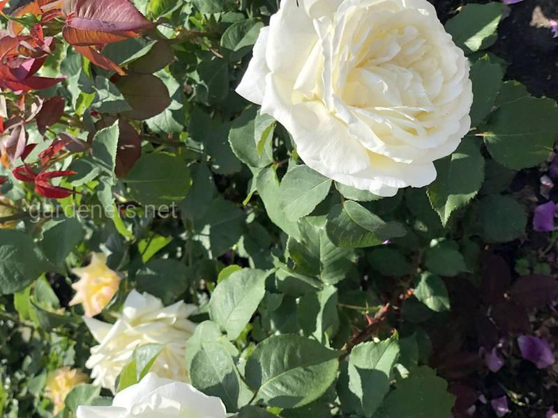Як попередити появу попелиці на трояндах?