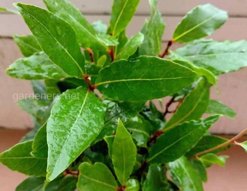 Які кімнатні рослини мають неповторний аромат?