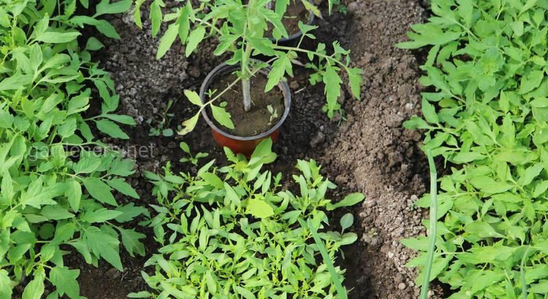 Вплив температури на розвиток томатів