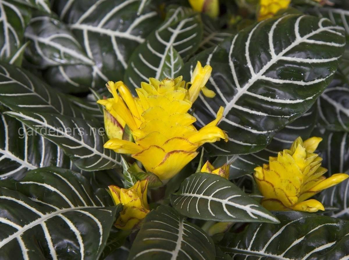Афеландра выращивание