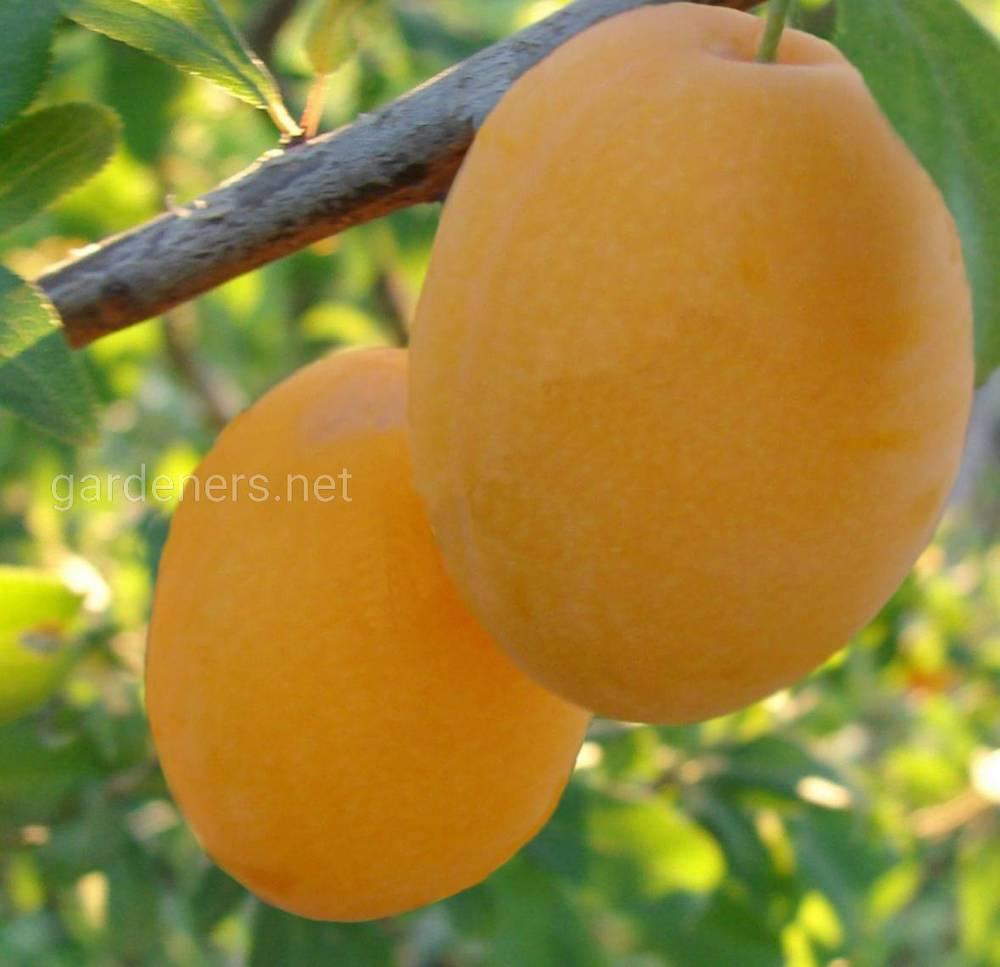 Сорт желтой сливы Желтая Афаска