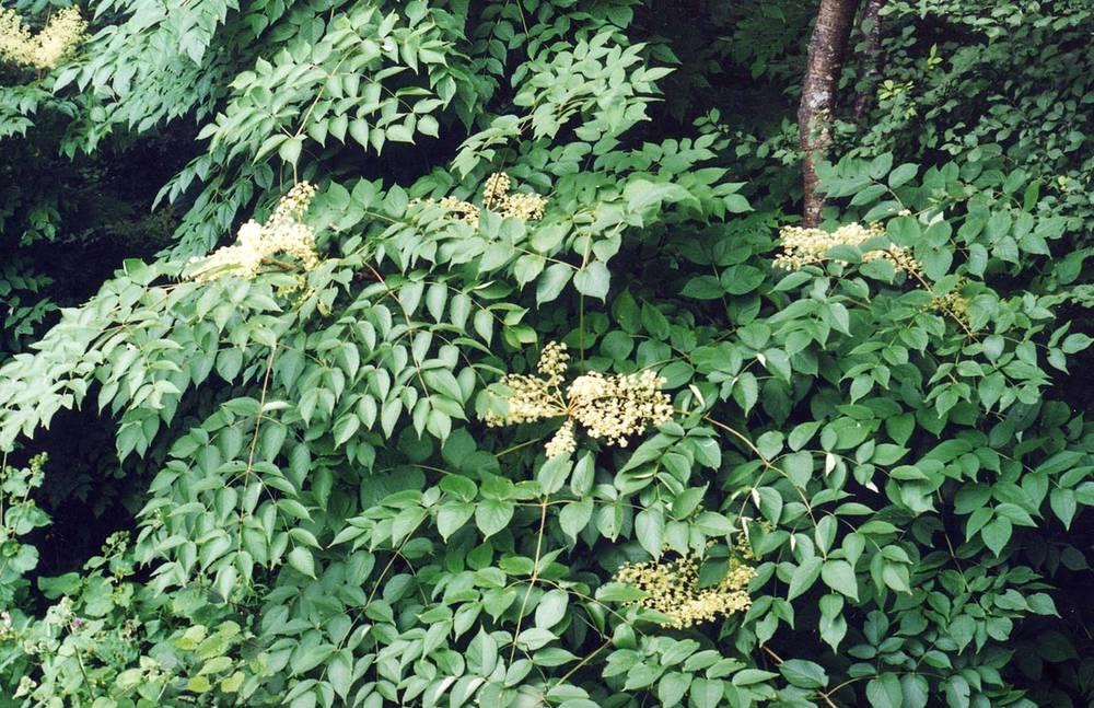 Цветущая аралия маньчжурская фото