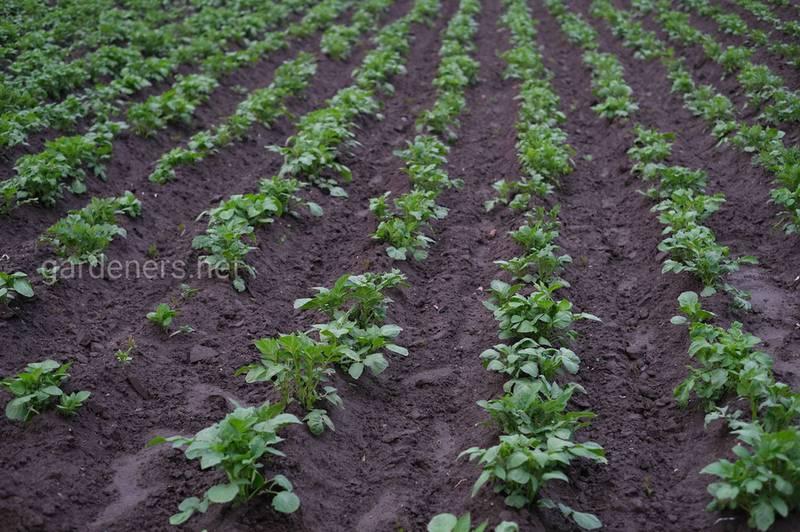 Які оптимальні умови для росту бульб картоплі? Чи отруйна надземна частина рослини?