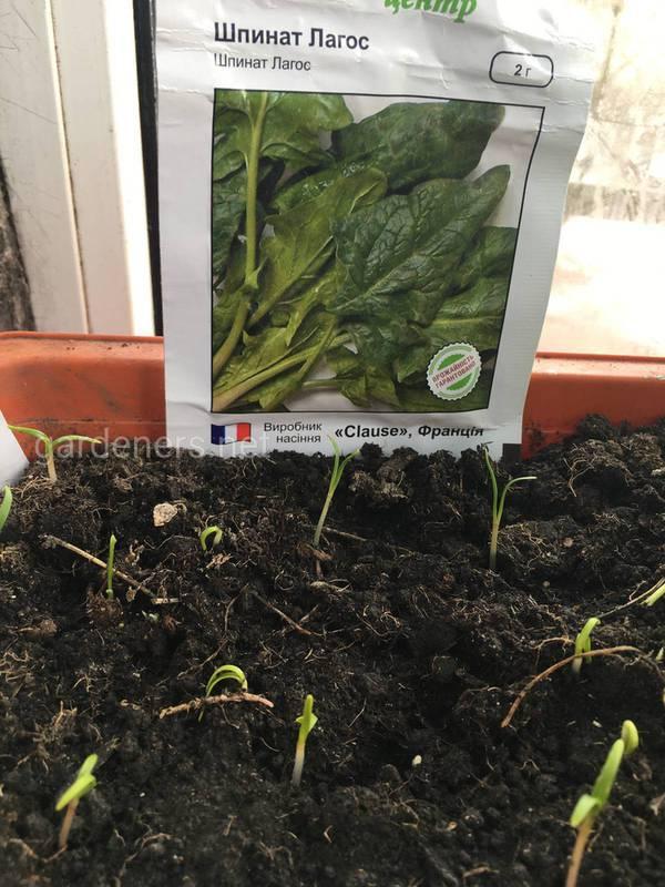 Осінній посів шпинату в серпні. Підготовка та посів